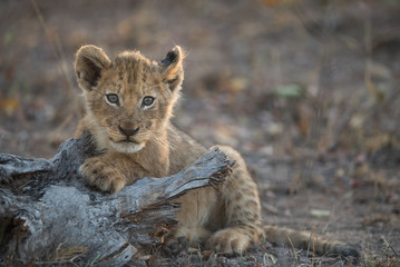 A horizontal, colour image of a tiny lion cub, Panthera leo, resting in the Greater Kruger Transfrontier Park, South Africa.