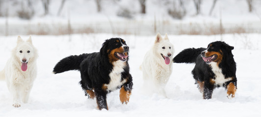 Bernese Mountain Dog and a white Swiss Shepherd on a winter walk