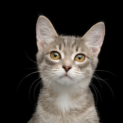 Cute Portrait of Tabby Kitten on Isolated Black Background