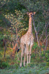 A vertical, colour image of a young giraffe, Giraffa camelopardalis, standing amongst trees in the Greater Kruger Transfrontier Park, South Africa.