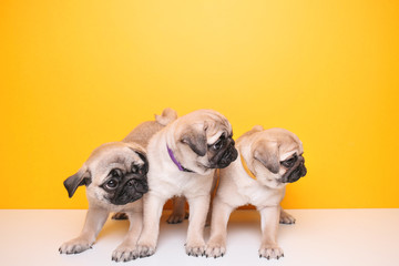 Cute pug puppies on color background