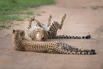 A horizontal, full length, colour image of two cheetahs, Acinonyx jubatus, resting on a gravel road in the Greater Kruger Transfrontier Park, South Africa.