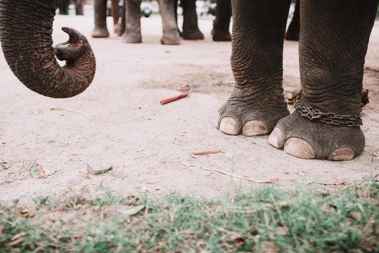 Big elephant with white brush