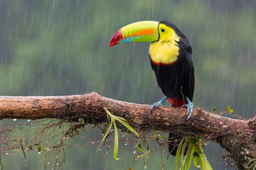 Spoed Fotobehang Toekan Toucan perched on branch in a rainy day. Costa Rica forest.