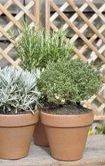 potted thyme sage and rosemary on a wooden table in garden