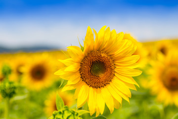 Sunflower field with cloudy blue sky (Helianthus annuus)