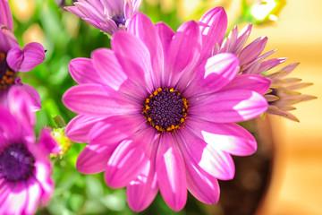 Vibrant beautiful purple daisies