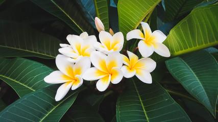 Frangipanier en fleur