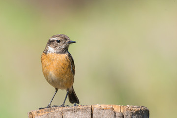 female of Stonechat Saxicola rubicola