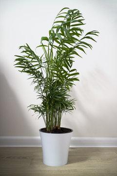 A potted plant Chamaedorea elegans isolated on white