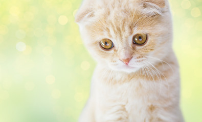 close up of scottish fold kitten