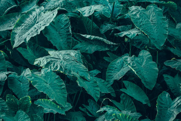 low key tone of tropical green leaves background in flat lay view