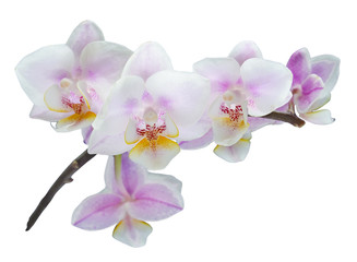 A branch of orchid flowers isolated  on a white background (design element)