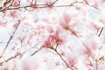 Beautiful spring nature scene with pink blossoming. Magnolia blooming