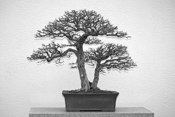 Old bonsai without leaves on a table
