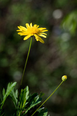 spring yellow daisy and bud isolated against bokeh blurred background outdoors