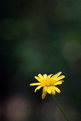 spring yellow daisy isolated against bokeh blurred background outdoors