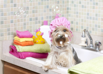 Yorkshire terrier looking through a floating bubble while taking her bubble bath