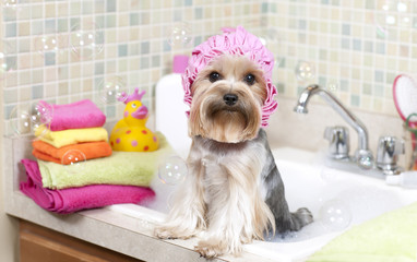 Yorkshire terrier taking a bubble bath