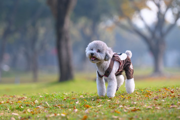 Poodles play in the park