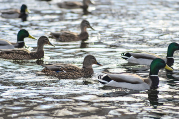 Natural background: a lot of ducks and drakes on the water, wintering waterfowl