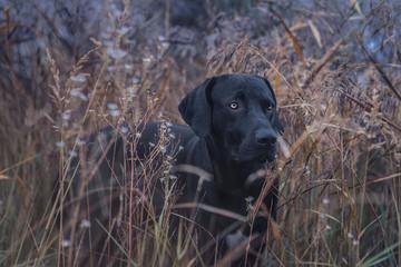 Schwarzer Hund in hohe Gras
