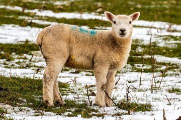 lamb watching you