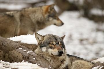Loups gris en hiver