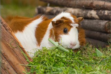 Guinea pig on grass, eating.