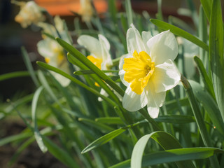 One Narcissus among the foliage Sunny day
