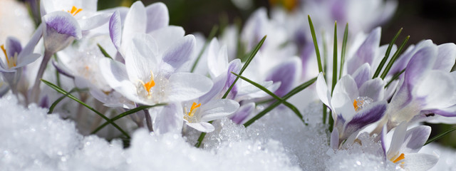 Photo sur Plexiglas Crocus crocus flowers