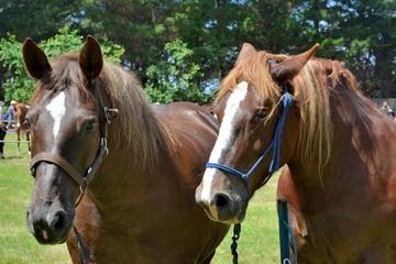 Chevaux pendant le pardon aux chevaux de l'île Saint-Gildas en Bretagne