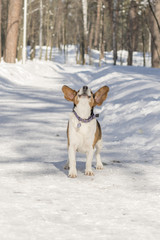 A dog with big and funny ears barking in a winter park