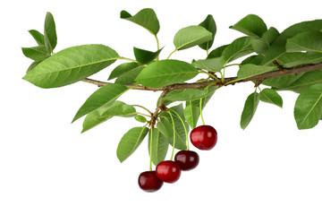 Delicious cherries on a branch. organic products. natural vitamins. Isolated. Close-up.