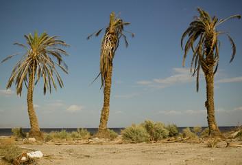 Salton Sea Palms Wall mural