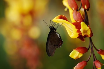 tropical butterfly at a snack on a colorful flower