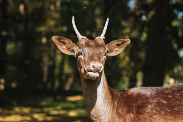 The wild deer looks at the camera. A beautiful animal in a natural habitat.