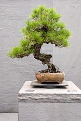 Canvas Prints Bonsai Japanese Cork Bark Black Pine Bonsai Tree