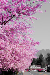 The Town of Fall City Washington Covering With Bright Pink Spring Cherry Blossom On A Warm Afternoon