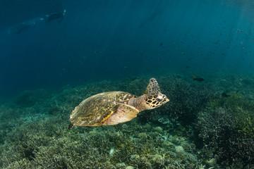 Hawksbill Turtle Swimming in Raja Ampat