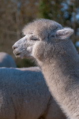 Alpaga Blanc Photo 11 (Portrait)