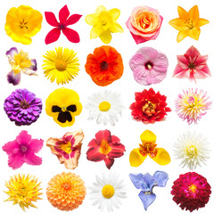 Collection of flowers tulip, daisy, iris, rose, poppy, lily, dahlia, daylily, bell, daffodil, tigridia, pansy, lavatera isolated on white background. Flat lay, top view
