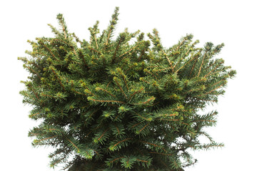 Spruce Picea Omorika Karel isolated on white background. Conifers. Christmas tree. New Year