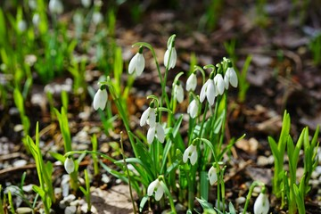 Tiny snowdrop galanthus flowers in bloom emerge through the ground in spring