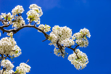 Branch of cherry blossom tree in full bloom against a bright blue sky