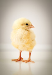 adorable baby chicken
