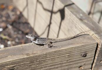 Lizard in the sun in Florida