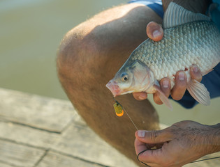 Freshwater fish hooked on mouth in male hands, bait fishing