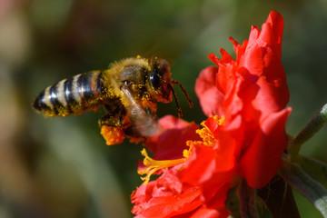 Honey Bee pollinating flower