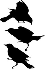 three fieldfare silhouettes isolated on white